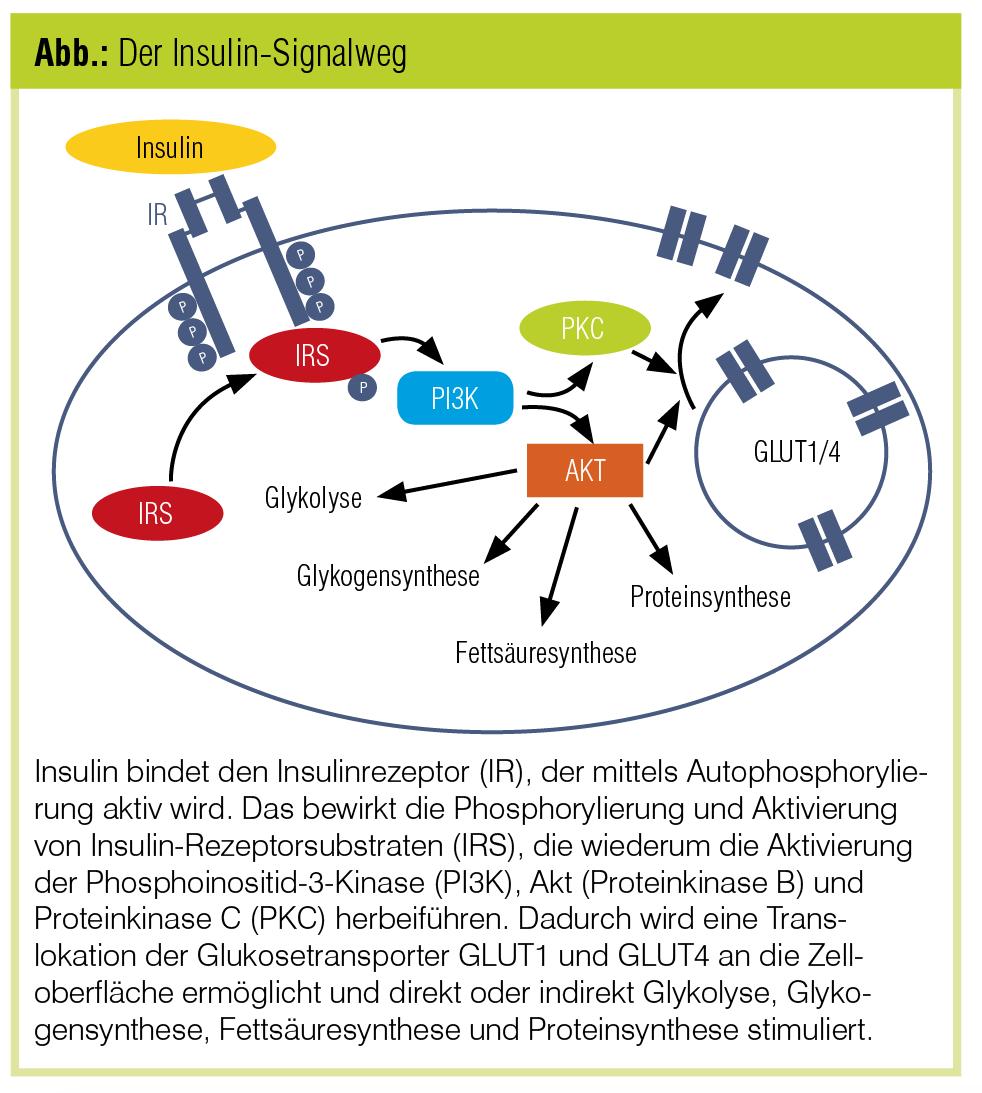 Insulinresistenz: Pathophysiologie und Mechanismen   Diabetes Forum ...
